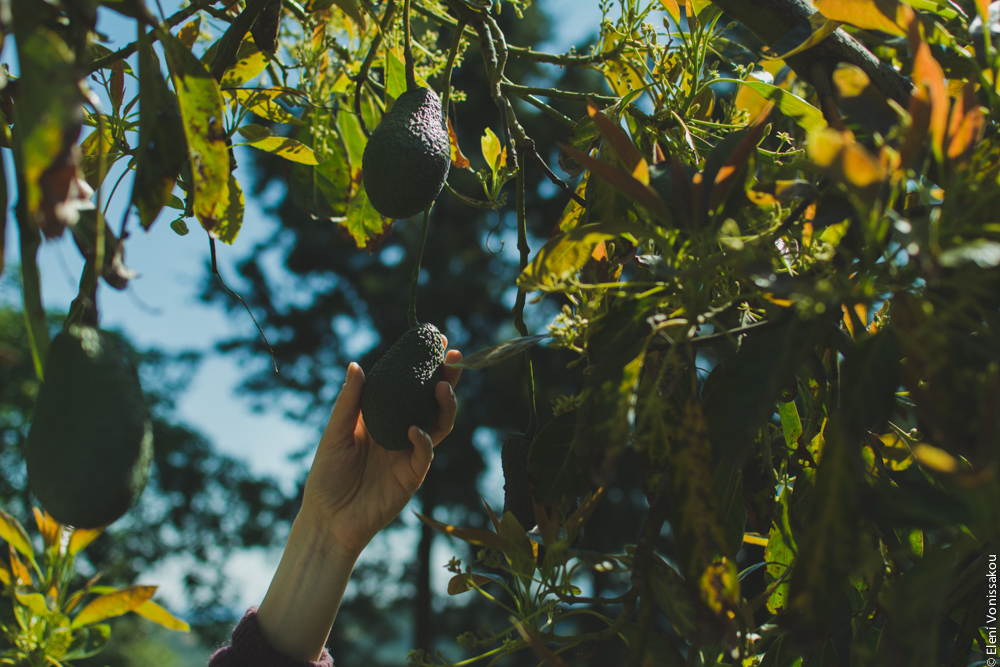 Miliaworkshop2017 www.thefoodiecorner.gr Photo description: A hand reaching up to hold an avocado hanging from the branch of a large tree. The sky is visible through the branches.